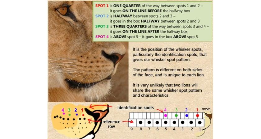 Lion spots