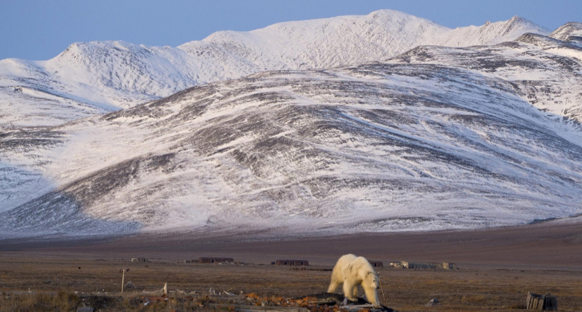 Polar bear on Wrangel Island