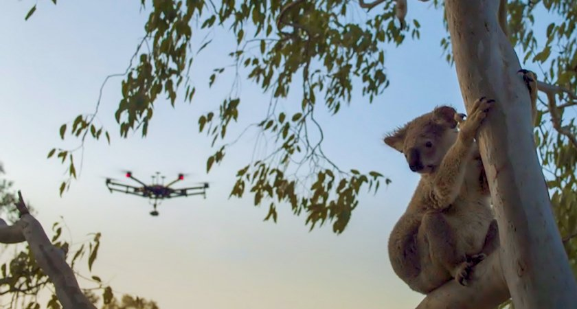 Koala in tree + M600