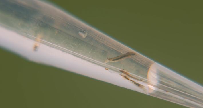 larvae clip